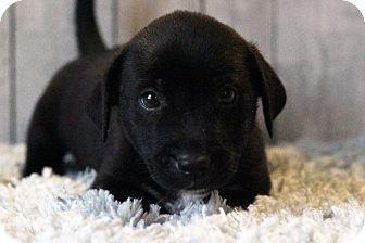 Labrador Retriever Mix Puppy for adoption in Waldorf, Maryland - Thomas