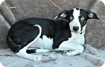Border Collie Mix Dog for adoption in Yreka, California - Summer