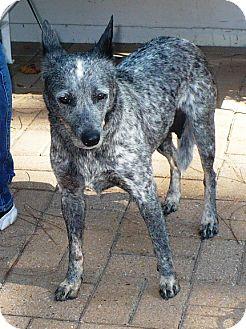 Blue Heeler Dog for adoption in Eastpoint, Florida - Bella