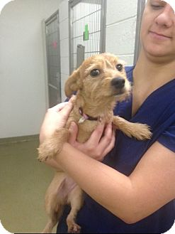 Jack Russell Terrier/Chihuahua Mix Puppy for adoption in Paris, Illinois - dilly