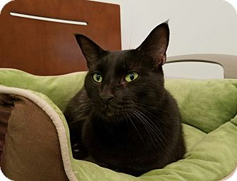 Bombay Cat for adoption in Elyria, Ohio - Preacher
