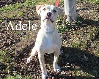 Pit Bull Terrier Mix Puppy for adoption in Warren, Pennsylvania - Adele