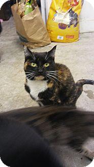 Calico Cat for adoption in Glenpool, Oklahoma - Addie