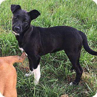 German Shepherd Dog/Labrador Retriever Mix Puppy for adoption in Austin, Texas - Sundae