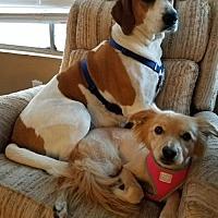 Adopt A Pet :: DAISY 7 - Chandler, AZ