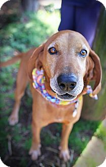 Redbone Coonhound Mix Dog for adoption in Plainfield, Connecticut - Langford