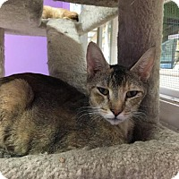 Domestic Shorthair Cat for adoption in Orleans, Vermont - Neptune