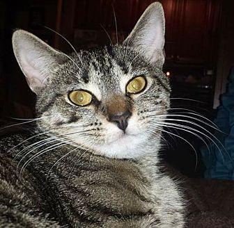 American Shorthair Cat for adoption in Monroe, New York - Rosie