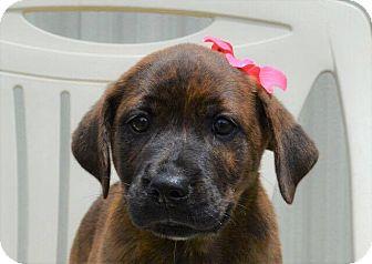 Labrador Retriever Mix Puppy for adoption in Southbury, Connecticut - Frances