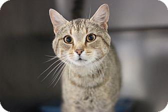 Domestic Shorthair Cat for adoption in Midland, Michigan - Randy Savage - FeLV +