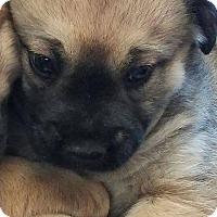 Adopt A Pet :: Ophelia - Burlington, VT