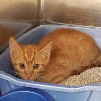 Domestic Shorthair/Domestic Shorthair Mix Cat for adoption in Bishop, Georgia - Chips Ahoy