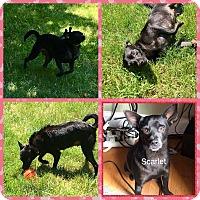 Adopt A Pet :: Scarlet in CT - East Hartford, CT