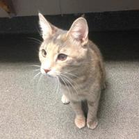 Domestic Shorthair/Domestic Shorthair Mix Cat for adoption in Dayton, Ohio - Sweet Caroline