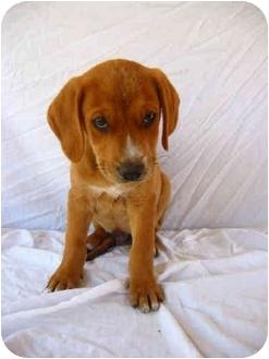 Labrador Retriever/Plott Hound Mix Puppy for adoption in Portsmouth, Rhode Island - Butters