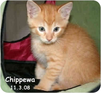 Domestic Shorthair Kitten for adoption in Naples, Florida - Chippewa