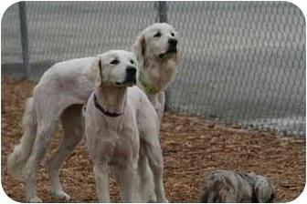 Kuvasz/Great Pyrenees Mix Dog for adoption in Ft. Myers, Florida - Zera