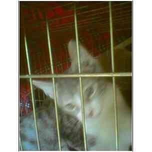 Domestic Shorthair Kitten for adoption in Owasso, Oklahoma - Abbie