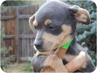 Chihuahua/Miniature Pinscher Mix Puppy for adoption in Broomfield, Colorado - READ