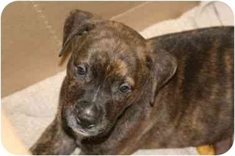 Pit Bull Terrier Mix Puppy for adoption in DFW, Texas - TAZ