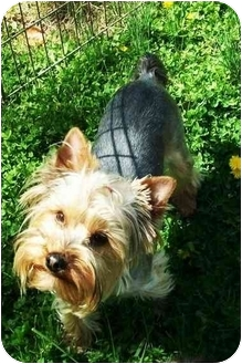 Yorkie, Yorkshire Terrier Dog for adoption in Kokomo, Indiana - Jackson