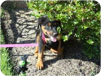 Rottweiler/Retriever (Unknown Type) Mix Puppy for adoption in Glastonbury, Connecticut - Sally