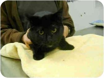 Domestic Shorthair Kitten for adoption in San Clemente, California - BG