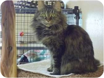 Domestic Longhair Cat for adoption in Grants Pass, Oregon - Shadow