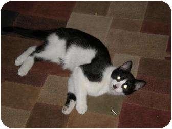 Domestic Shorthair Cat for adoption in Roseville, Minnesota - Oreo