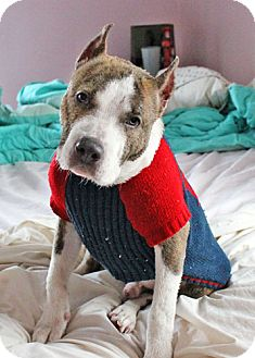 American Pit Bull Terrier Mix Dog for adoption in Howell, Michigan - Bink