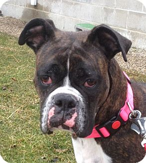 Boxer Mix Dog for adoption in South Haven, Michigan - Tacoa