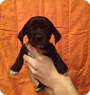 Chihuahua/Pug Mix Puppy for adoption in Kimberton, Pennsylvania - Prescott