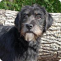 Adopt A Pet :: Guinness - Mocksville, NC