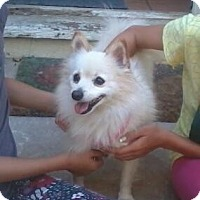 Adopt A Pet :: Prescious - Los Angeles, CA