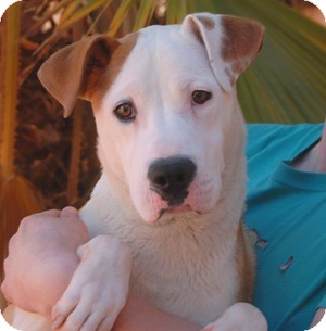 Collie/American Staffordshire Terrier Mix Puppy for adoption in Las Vegas, Nevada - Terry