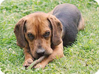 Beagle Mix Dog for adoption in Hamburg, Pennsylvania - Barnes