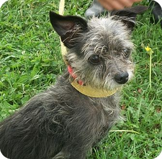 Chihuahua Mix Dog for adoption in Martinsville, Indiana - Princess