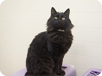 Domestic Shorthair Cat for adoption in Libby, Montana - Mama Nancy
