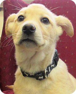 Shepherd (Unknown Type) Mix Puppy for adoption in Lloydminster, Alberta - Shannon