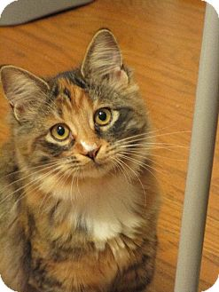 Domestic Mediumhair Kitten for adoption in San Leandro, California - Athena