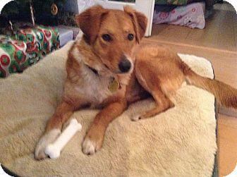 Border Collie/Golden Retriever Mix Dog for adoption in Roslyn, Washington - Mossy