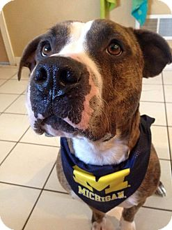 American Staffordshire Terrier/Boxer Mix Dog for adoption in Warrenville, Illinois - Summer