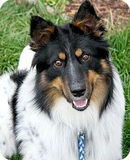 Australian Shepherd/Sheltie, Shetland Sheepdog Mix Dog for adoption in Delano, Minnesota - Gavin