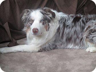 Australian Shepherd Dog for adoption in Minneapolis, Minnesota - Crosby