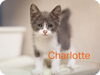 Domestic Shorthair Kitten for adoption in Dallas, Texas - Charlotte