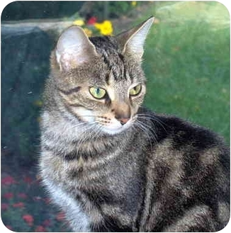 Domestic Shorthair Cat for adoption in Burlington, Ontario - Polly