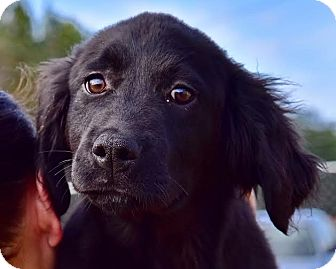 Golden Retriever Mix Puppy for adoption in New Canaan, Connecticut - Merlin