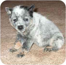 Australian Cattle Dog Dog for adoption in Phoenix, Arizona - Traci