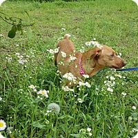 Adopt A Pet :: Suzie Q - Arlington, TN