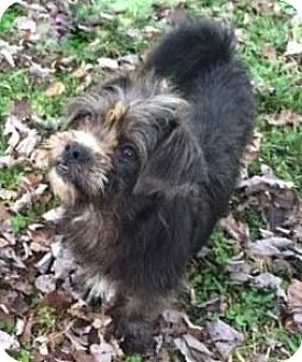 Yorkie, Yorkshire Terrier/Shih Tzu Mix Puppy for adoption in Danbury, Connecticut - Ross